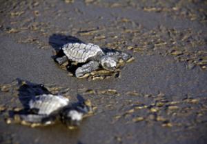 Nicaragua Freiwilligenarbeit: Schildkröten DeeperTravel